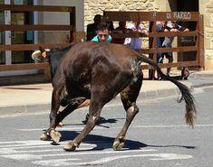 Santacara: Vacas Hermanos Marcen (4) Horses, Animals, Cows, Siblings, September, Animais, Animales, Animaux, Animal