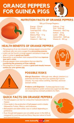 Guinea Pig Food, Cute Guinea Pigs, Guinea Pig Care, Pig Facts, Food Facts, Pepper Benefits, Pigs Eating, Pig Ideas, Pig Stuff