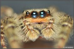 Jumping Spider, Am I Cute, Spiders, Insects, Bee, Deviantart, Halloween, Animals, Honey Bees