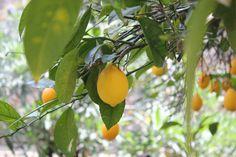 Lemon tree ,   SCIANDRI FAMILY VINEYARDS