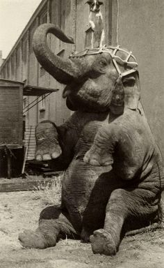 vintage everyday: Interesting Old Pictures of Circus in Netherlands from between to Vintage Circus Photos, Vintage Pictures, Old Pictures, Old Circus, Dark Circus, Circus Art, Elephas Maximus, Evil Clowns, Most Beautiful Animals