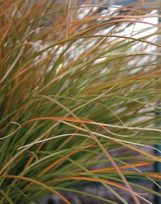 Proven Winners   Orange Sedge (Carex testacea)