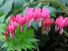 Bleeding Heart Flower Care How To Grow Bleeding Hearts:  Blooms of the bleeding heart plant (Dicentra spectabilis) appear in early spring adorning the garden with attention getting, heart shaped flowers borne on arching stems. Attractive bluish green foliage emerges first as the plant wakes from dormancy and flowers of the bleeding heart may be pink and white or solid white as with the bleeding heart cultivar 'Alba'.