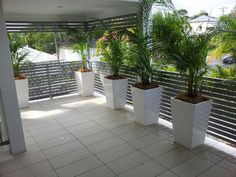 Golden Canes Palms in white wedge pots