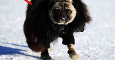 MOVING IMAGE (A pug dog is seen during the Polo World Cup on Snow match between team Ralph Lauren and team Cartier on the frozen Lake St Moritz on January 2013 in St Moritz, Switzerland. Switzerland Vacation, Pug Love, Photos Of The Week, World Championship, All Dogs, Bald Eagle, World Cup, Denmark, Pugs