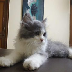 Persian cat or kitten for sale in Delhi, Chennai and Kerala. Persian cat price in India is very reasonable at Mummy Cat. We also offer Persian cat in different colors. Persian Cat Price, Persian Cats For Sale, Persian Kittens, Cats And Kittens, Buy A Kitten, Kitten For Sale, Buy A Cat, Cat Site, Cat Online