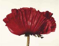 """IRVING PENN (1917-2009)  """"Poppy: Glowing Embers"""", New York, 1968  Christies.com   Price Realized      €205,500 (Set Currency)     ($281,410)  Estimate      €100,000 - €150,000     ($136,677 - $205,016)   Sale Information      Sale 3609 —     Photographs, Icons & Style 1 July 2014 Paris"""