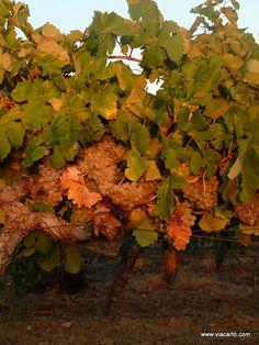 vigne au coucher by viacarto, via Flickr