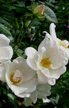 Floribunda Rose: Rosa 'Elfe (Germany, 1945)