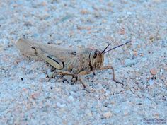 Grasshopper in the sand by Francesca Murroni Ph on 500px
