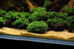 Nice and clean look to this planted tank:) Anyone know what kind of plants are growing on these rocks?