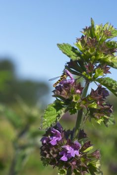 Horehound: A common and desirable benefit of the horehound herb is its effectiveness as an expectorant to aid the discharge of congestive materials from the lungs. This is but one of the many ways that horehound has been used to support good health throughout history. Since its first documented use in Roman times, many people have found it easy to gain health benefits from horehound since nearly every part of the plant is usable and there is a variety of preparation methods.