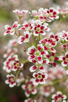 Saxifraga 'Southside Seedling' by Alan Buckingham Amazing Flowers, My Flower, Beautiful Flowers, White Flowers, Horticulture, Trees To Plant, Beautiful Gardens, Garden Plants, Perennials