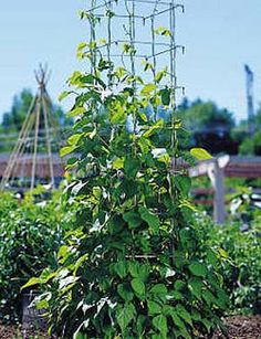 Bean Tower - These get excellent reviews and I'd like to try one. Grow tall beans in just 1-1/2 square feet of space!! Over 5 feet tall with larger openings for easy harvest. Extra-sturdy cage folds flat for winter. Looks like a great idea!