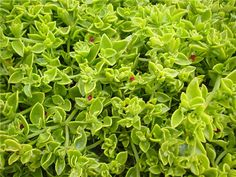 RED APPLE (APTENIA CORDIFOLIA) - ground cover.  great in containers, planters or hanging baskets. It needs full sun or light shade.