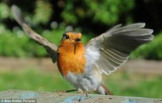 Flexing for the camera: The robin shows off its wingspan
