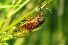 A cicada laying her eggs.