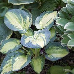Great American Expectations' You can count on 'Great American Expectations' to put on a show in your shade garden. This stunning hosta grows 26 inches wide and has large, chartreuse leaves edged in a soft blue-green color. Blue Hosta, Hosta Plants, Potted Plants, Houseplants, Lavender Flowers, Purple Flowers, Shade Garden Plants, Garden Planters, Gardens