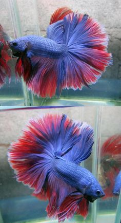 Blue dragon halfmoon betta fish