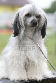 Chinese Crested Powder Puff Dogs Puppy Hound Pups Dog Puppies
