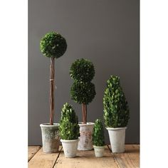 Boxwood Tapered Topiary in Pot