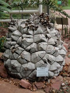 """Dioscorea elephantipes - very old plant cultivated in the """"Flora Köln"""" Cologne, Germany has a diameter of about 50 cm!"""