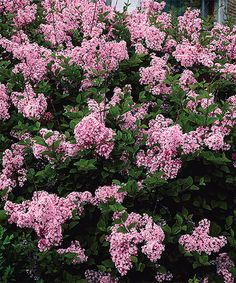 This Live Reblooming Lilac Josee - Set of Two by Spring Hill Nursery is perfect! #zulilyfinds