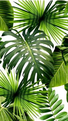Tropical wallpaper, Pantone 2017 colour, Palm wallpaper, Tropical leaves, Color of the year Pantone greenery - Wild Thing Wallpaper by Flavor Paper - Motif Tropical, Tropical Decor, Tropical Leaves, Tropical Plants, Tropical Fabric, Tropical Interior, Palm Wallpaper, Tropical Wallpaper, Wallpaper Murals