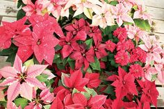 Tips for Preserving Poinsettia Plants. These handy tips will help you keep your plants alive through the holiday season.