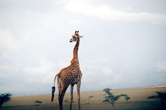 ♀♅☽ Giraffe #animal #savanna