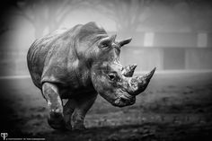 Long Leat England Fauna Photography Rhino Charging Black And White - Photography by Tom Cunningham