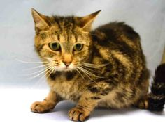 EMI - A1092607 - - Manhattan  *** TO BE DESTROYED 10/22/16 *** EMI LIVED WITH LITTLE KIDS….Ages one through three. After three years, EMI's owner claims they are allergic. However, they took EMI to the vet and she has rashes that need treatment and they have also decided they can't afford that! Gentle EMI is AVERAGE rated and has not lived with other animals but lived happily with the children. The ACC suspects her rashes may be to fleas or possibly to foo