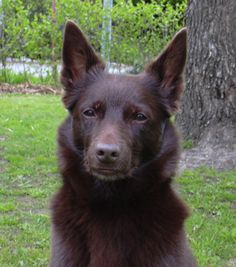 Dog Breed: Australian Kelpie - Legend tells that the Kelpie claims as its ancestors, the Border Collie and the Dingo. But documentation has shown the Kelpie to have developed from English North Country Collies - The Pet Wiki .Read more: http://thepetwiki.com/wiki/Australian_Kelpie