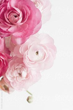 Pink Ranunculus flowers by Kristin Duvall for Stocksy United