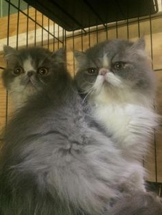 Meet Chewie and Louie, a Petfinder adoptable Persian Cat | Limekiln, PA | Meet Chewie and Louie, two grey and white persian brothers who are 9-14 months old.  These...