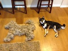 How to Make Your Dog Shed Less - Tips like what type of brush to use, techniques and tools to help de-shed your dog. Husky Shedding, Diy Dog Shampoo, Dog Grooming Tips, Grooming Salon, Cute Dog Pictures, Labradoodle, Dog Supplies, Dog Care, Cute Dogs