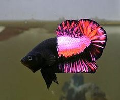 Pretty in Pink Betta Emerges, Classification Confuses Indiana Legislature - http://www.cflas.org/pretty-in-pink-betta-emerges-classification-confuses-indiana-legislature