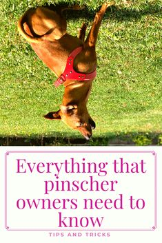 What Makes You Happy, What Is Love, Are You Happy, Mini Pinscher, Miniature Pinscher, Doggies, Dogs And Puppies, Dog Cuddles, Dog Health Tips