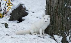 Arctic Fox by ikord #animals #animal #pet #pets #animales #animallovers #photooftheday #amazing #picoftheday