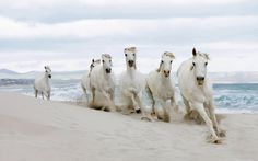 This herd of whites enjoys playing and running on the beach.