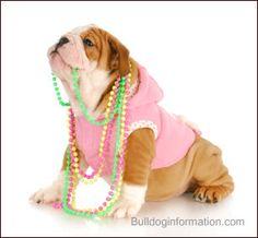 Bulldog puppy in pink hoody