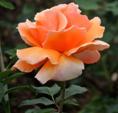 Butchart Gardens rose #butchartgardens #rose