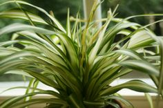Spider Plant Care: Top Tips for the Best Spider Plants Ever! - Original Homesteading Spider Plant Care: Top Tips for the Best Spider Plants Ever! The spider plant - Easy Care Indoor Plants, Indoor Plants Low Light, Best Indoor Plants, Spider Plant Babies, Popular House Plants, Air Cleaning Plants, Chlorophytum, Tiny White Flowers, Ivy Plants