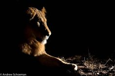 Africa    Lion Night ~ A Young male Lion photographed while on Safari at Simbavati in the Timbavati Game Reserve   © Andrew Schoeman