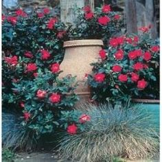 Love your knockout roses and want to learn how to keep knockout roses blooming as long as possible? Learn how here, along with basic information and care of knockout roses.