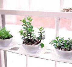 Teacup herbarium - a little like my teacup succulents!