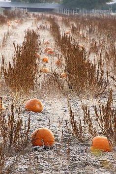 frosty pumpkins field