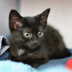 Albertina is a curious kitten who is available for adoption at our Pacific Heights campus!