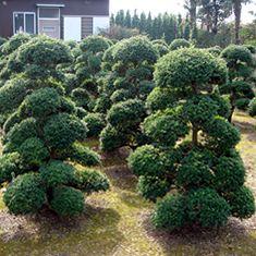 Fornitura all'ingrosso di macrobonsai e bonsai in europa | nippontree.it