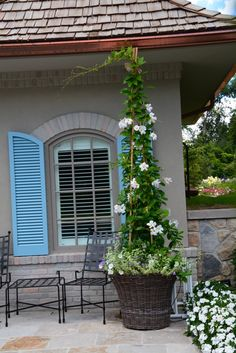 Love the blue shutters, outdoor dining and climbing vine in planter.